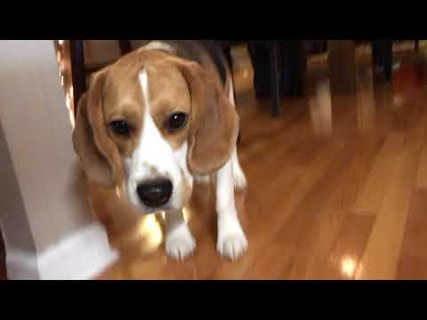 Woeful beagle wants to eat his Daddy's dinner