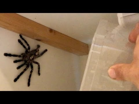 Catching a GIANT escaped spider (venomous) - DONT WATCH AT NIGHT