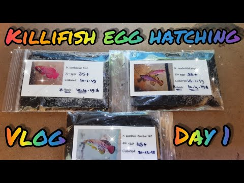 Killifish Egg Hatching Vlog: Day 1
