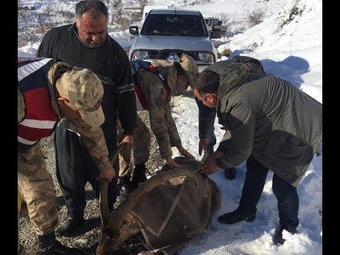 Aç Kalan Dağ Keçisi Jandarma Tarafından Kurtarıldı