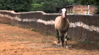 Horse running in the fields of Nakul Stud Farm in Gurgaon