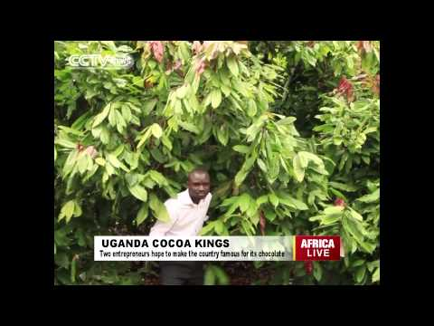 Uganda Cocoa Kings Hope to Make the Country Famous for its Chocolate