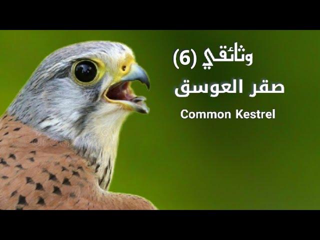 Common Kestrel العوسق صقر الجراد صقر بوعميرة الشبوط Youtube