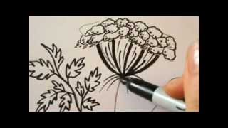 How To Draw Flowers - Queen Annes Lace