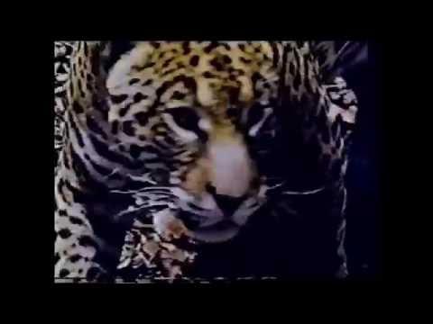Jungle Cat Documentary