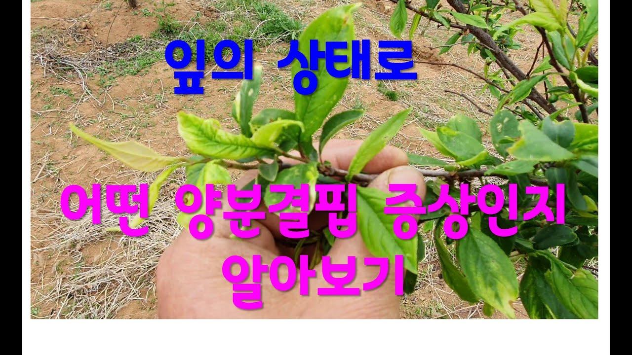 잎을 통해 알아보는 특정 원소결핍(양분결핍)  1 - 철분결핍 (Learn about lack of specific elements through leaves)
