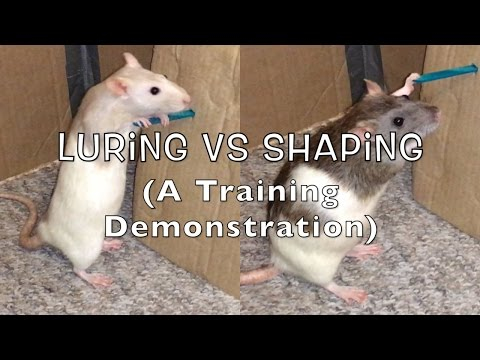 2 Training Methods: Shaping vs Luring (Pushing A Lever)