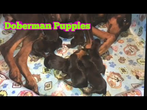 Doberman Pinscher Puppies and Country Life Hunting Minnows and WV Lobster