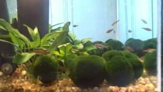 Cover images 19 Marimo Moss Balls 15g tank