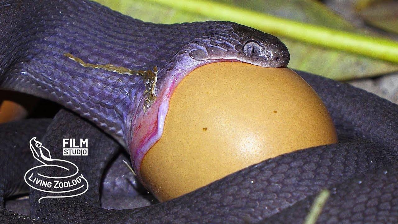 Download Egg-eating snake swallowing a huge egg, egg-eater feeding (Dasypeltis), snake eating behavior