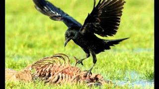 Natuur in eigen land - geluid zwarte kraai