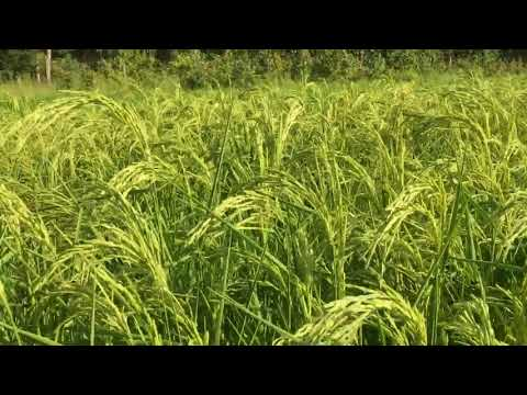 Dryland Rice Production in the Mid-Atlantic with Purple Mountain Organics