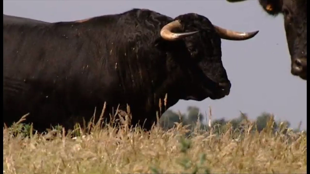 the bull the most powerful animal and symbolic of the earth youtube