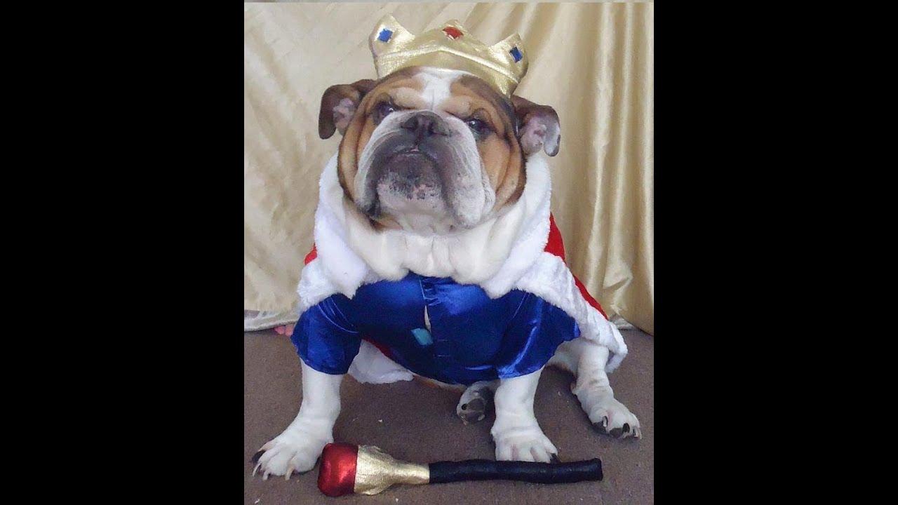 English Bulldog peeing on Halloween costume! - YouTube