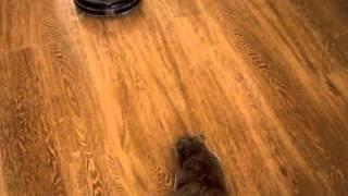 Кошка и робот-пылесос