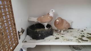 Balkonda Güvercin Besleme #25