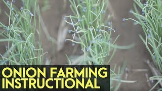 Onion Farming Instructional: Site Selection and Seedling Management