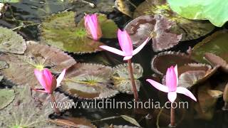 Lotus flowering in South India's monsoon