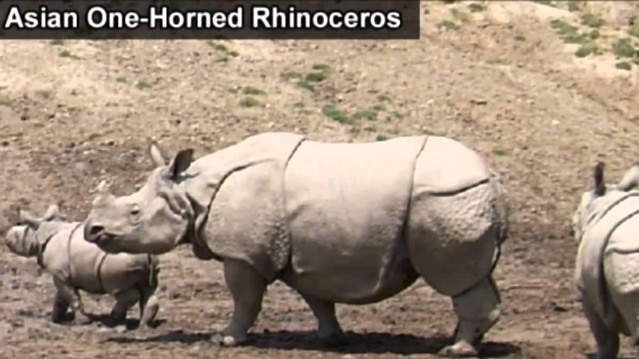 one horned rhinoceros unicorn