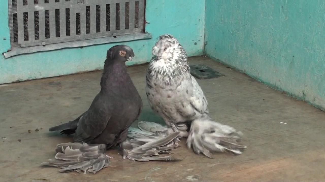 фото среднеазиатские голуби