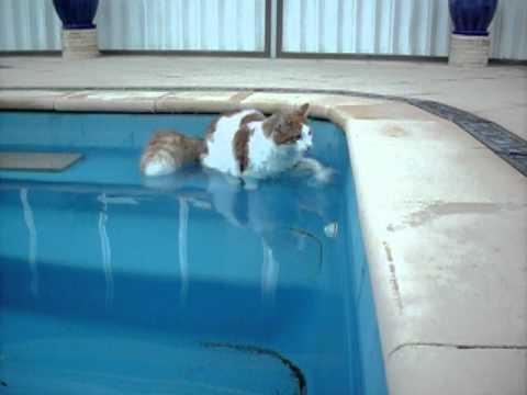Turkish Van cat loves water