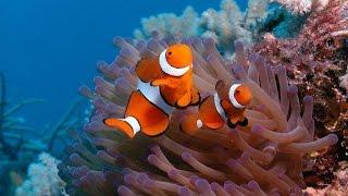 видео Cимбиоз рыбы клоуна и актинии.