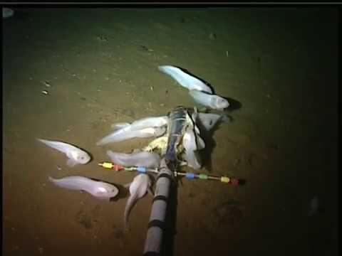 Científicos descubrieron un pez que vive a más de 8.000 metros de profundidad