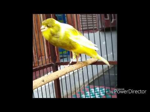 Download Lagu Masteran Burung Kenari (kompilasi Kicau kenari)