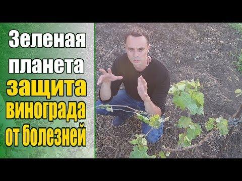 Защищаем виноградник от основных болезней: милдью, оидиум, антракноз