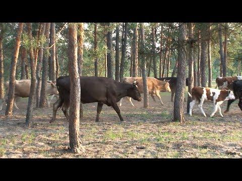 Выгоняем коров в стадо.