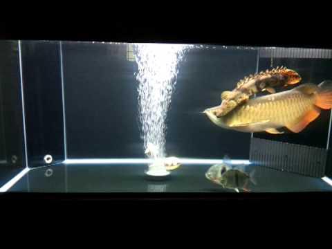 Arowana hbk n tank mates - YouTube