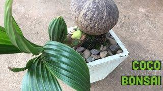 How to Do Coconut Bonsai