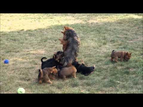 Dunham Lake Australian Terrier Puppies...Why we sleep good at night :)