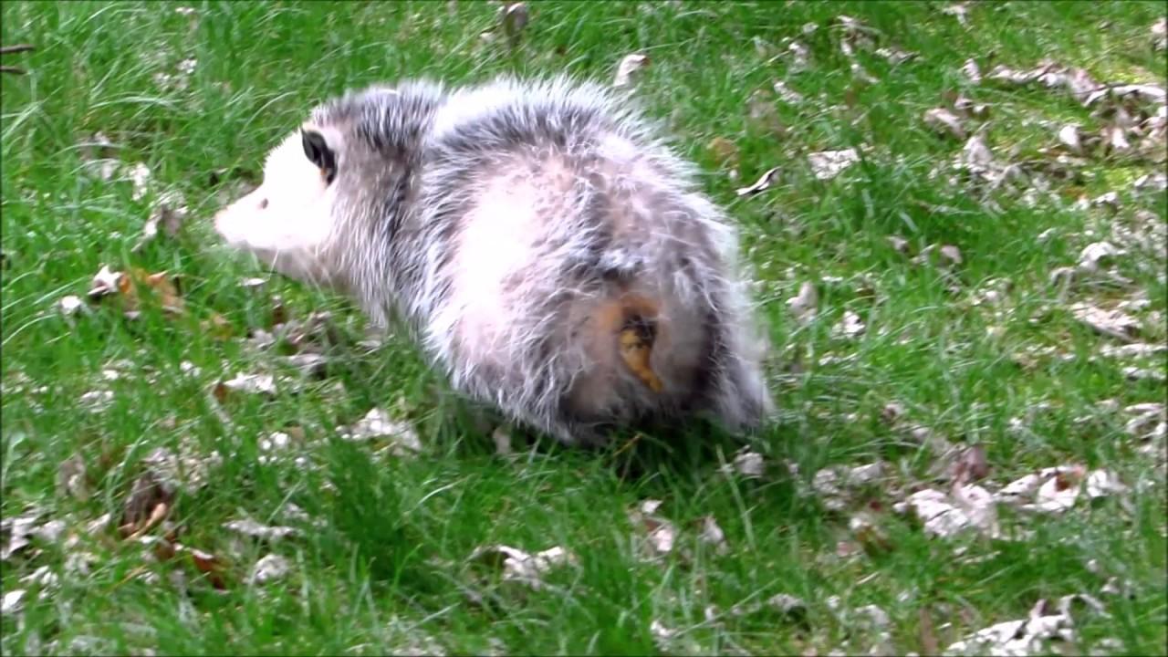 Backyard 'Possum Walk - YouTube