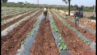 New practices in musk melon and watermelon cultivation in Annatapur