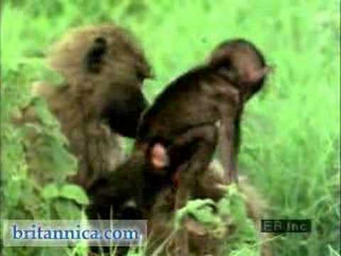 an analysis of baboons and their habitat Why southern africa's iconic baboon is environmental conditions for baboon survival it is their core habitat and get the latest analysis and.