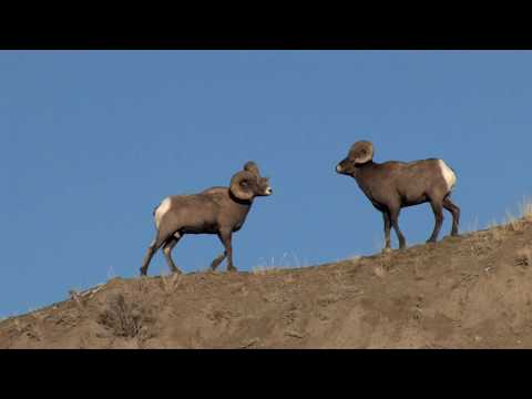 Bighorn at the Yellowstone