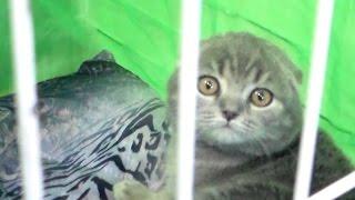 Шотландская Вислоухая, Кошка - Няшка, Породы кошек