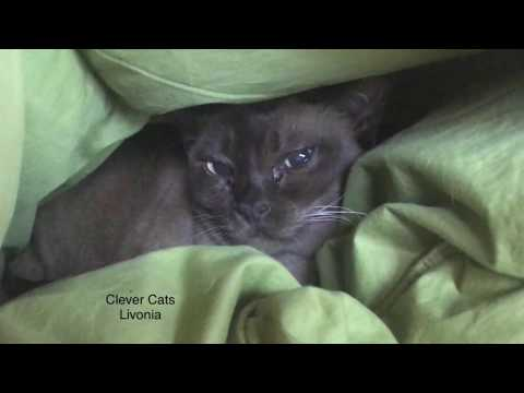 Burmese Cat Loves Warm Comforter