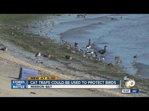 Cat traps could be used to protect endangered birds at Mission Bay
