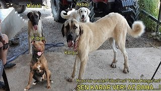 Pitbull , Kangal , Akbaş , Malaklı , Terrier - Pitbull'mu Kangal'mı? Karar Ver!  - Köpek Çiftliği