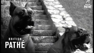 Boxer Dogs (1961)