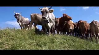 Con bò - lk nhac thiếu nhi - con bò hay cho bé - video vui nhộn cho bé