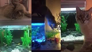 Тайский кот Макс, наш выпускник, не смог достать рыбок из аквариума! Тайские кошки   это чудо!