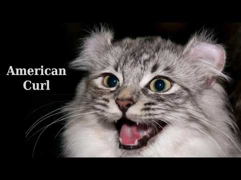 American Curl - unusual cat from United States