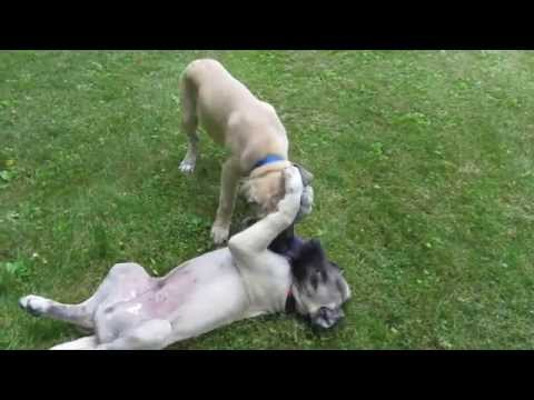 Anatolian pups playing with very expensive doggie toy