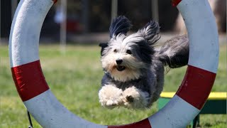 Cute Havanese Dogs Agility and Training & Compilation | Lovely Havanese Puppies Tricks!