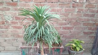How to care yucca plant, युक्का प्लांट / yucca