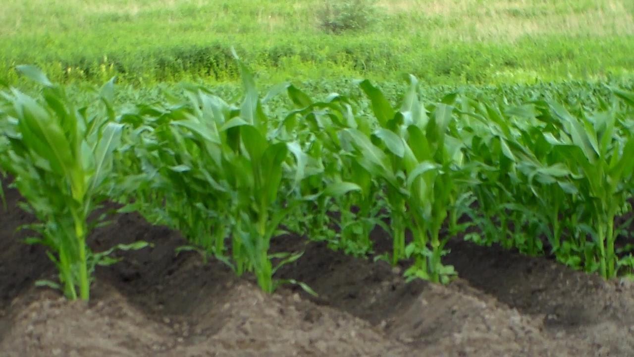 на какую глубину проводят первую прополку кукурузы