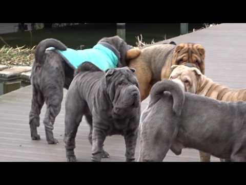 our sharpei pack  playing